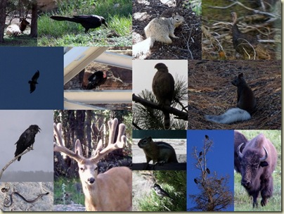 Collage of wildlife at North Rim Grand Canyon National Park Arizona