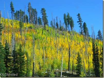 Fall aspen along Hwy 67 North Rim Grand Canyon National Park Arizona