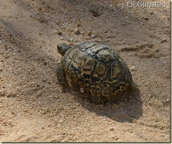 Leopard Tortoise Kruger National Park Mpumalanga South Africa