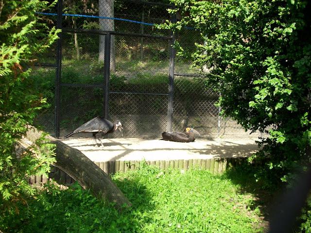 Dzioborożce kafryjskie - nowe ptasiory w oliwskim zoo