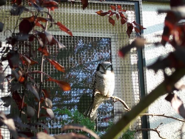 Sowa jarzębata - Zoo Oliwa