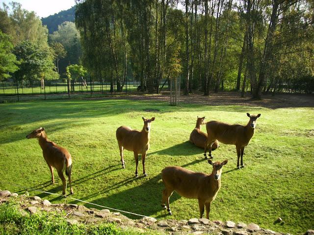 Nilgau - Zoo Oliwa