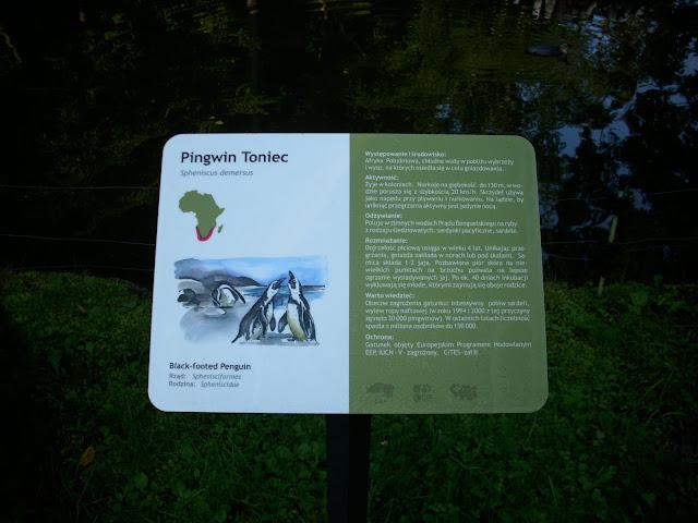 Pingwiny tońce - nowa tabliczka z opisem gatunku w oliwskim zoo