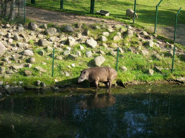 Tapirzyca Kleopatra - Zoo Oliwa
