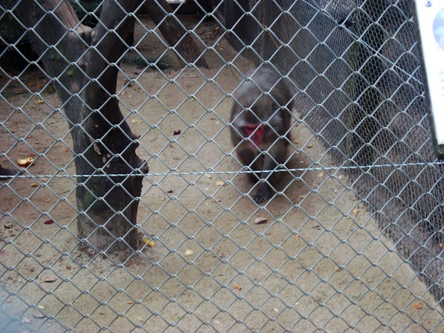Jeden z makaków japońskich na przechadzce