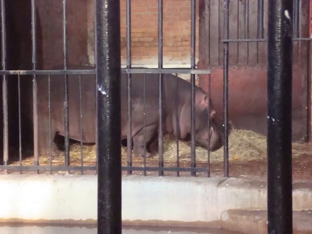 Wybieg wewnętrzny hipopotamów nilowych