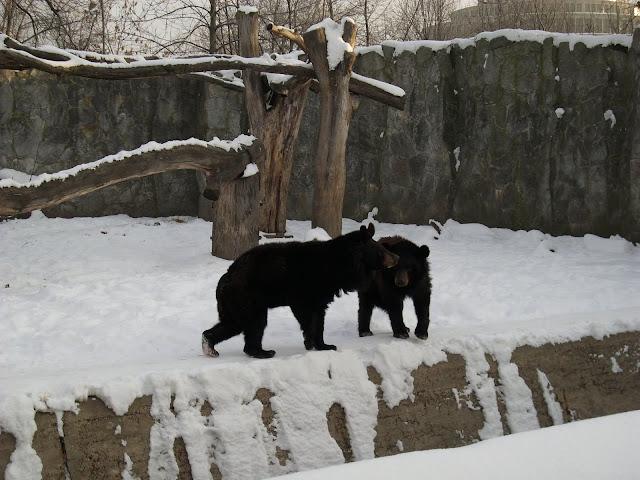Niedźwiedzie himalajskie z wrocławskiego zoo