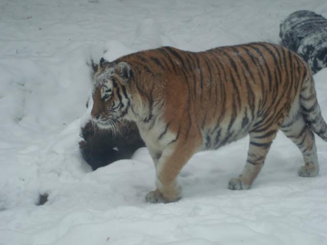 Tygrys syberyjski na śniegu