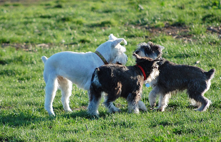 Maui meet some new Schnauzer friends at the park!