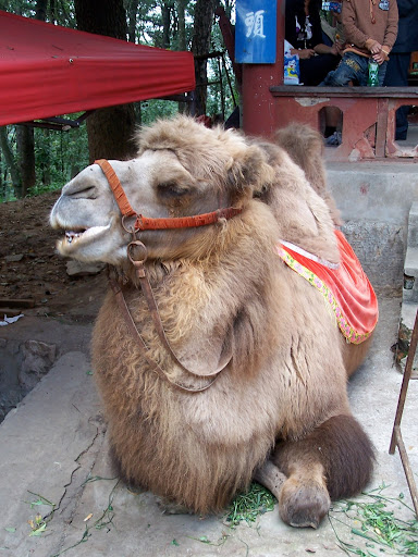 Rando camel outside Jin Dian