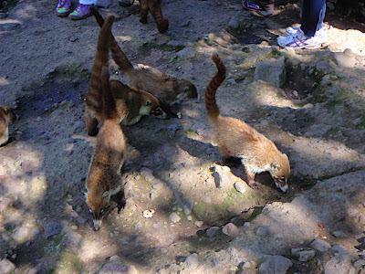 the summit also had some interesting fauna...some type of raccoon-like creatures that realy like to eat