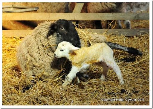 Sheep 307