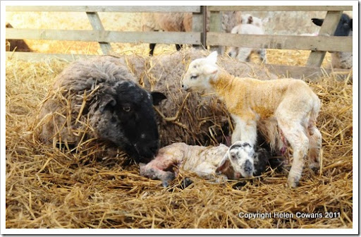 Sheep 326