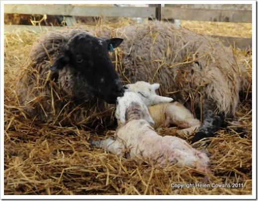 Sheep 329