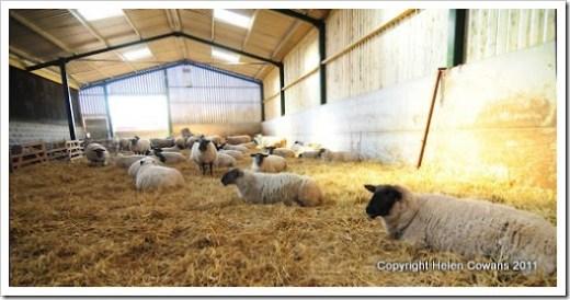 Sheep 369