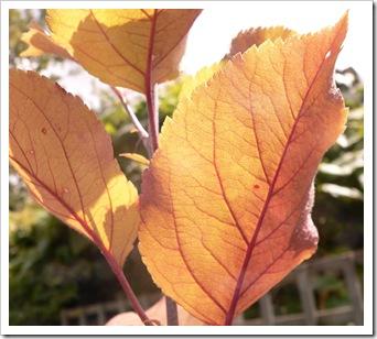 Walthamstow Wonder Leaves