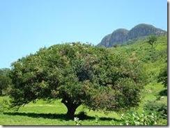 Pitanga arbol
