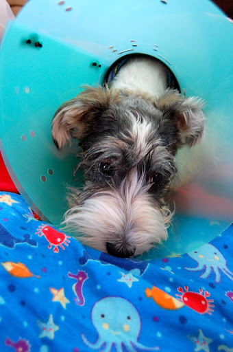 He is now stuck with the cone of shame. Poor, boy. :(