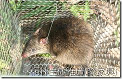 桐林生態社區影像雜誌: 哺乳類-鬼鼠