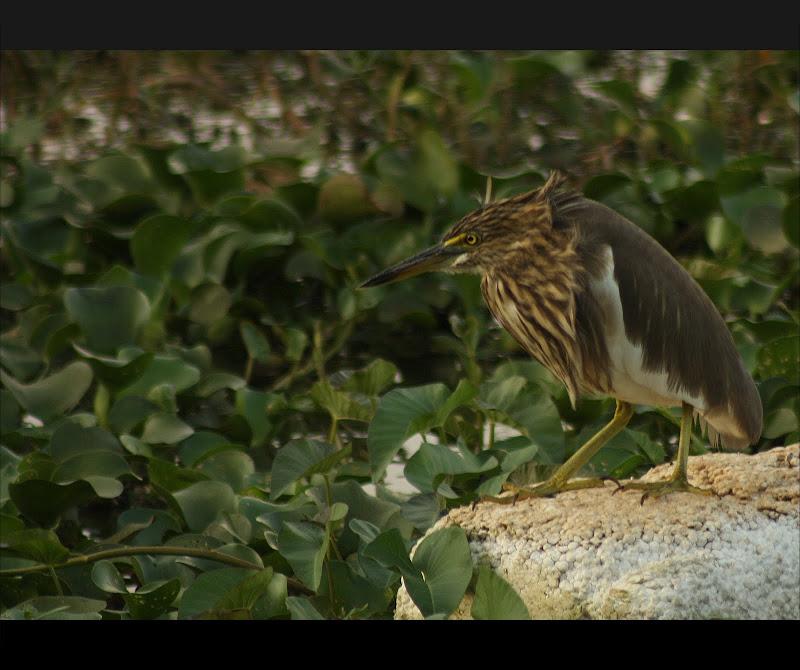 Pond Heron at Hebbal