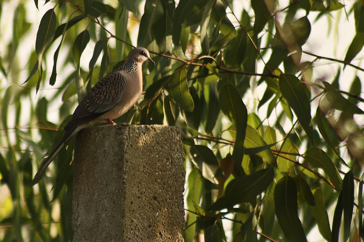 Spotted Dove by Vaibhav