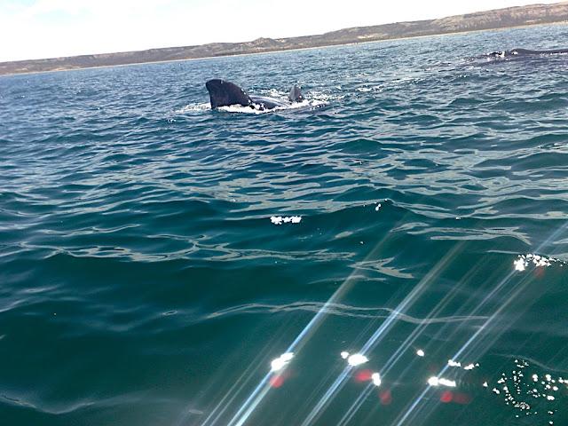 Baleia Franca Austral