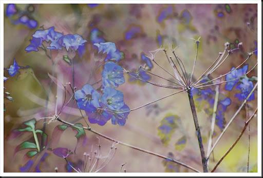 Blue Queen Anne