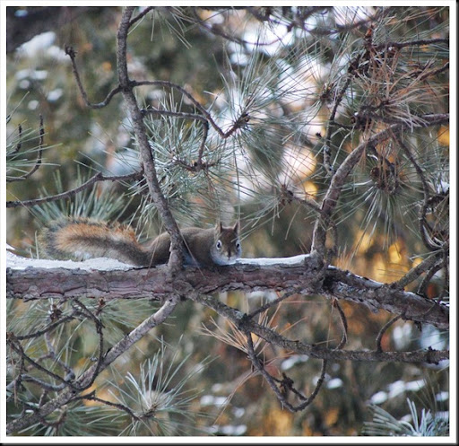 red squirrel sq