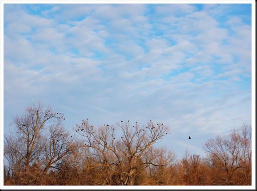 crows sky