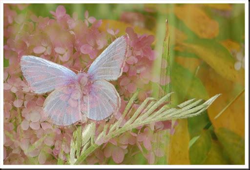 BUTTERFLIES Silvery Blue and Hydrangeas