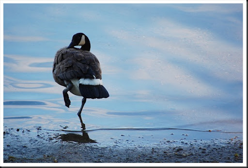 Preening Goose