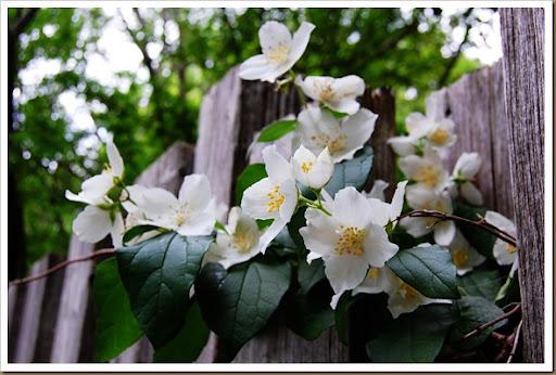 White apple blossoms2