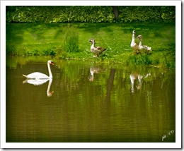 DSC_0042-swan-and-geese