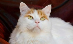 turkish-van (Foto: Getty Images)
