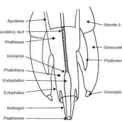 External Grasshopper Diagram 1999 Ford Windstar Wiring Anatomy: Head, Thorax, Abdomen, And Genitalia (insects)
