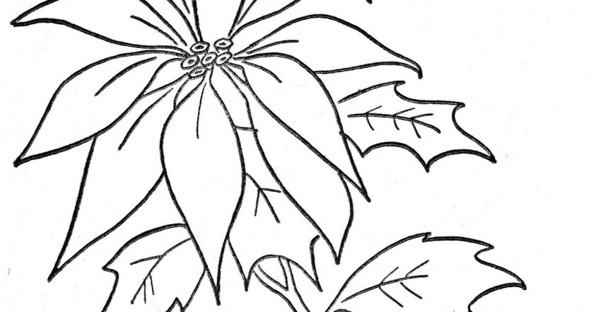 poinsettia  christmas flower free coloring pages