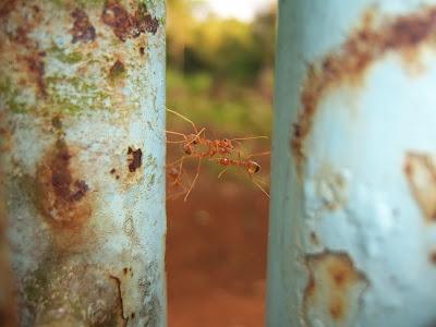 dengan kerja sama, semut merah ini bisa nyebrang. bisakah dengan kerja sama kita memajukan Cianjur Selatan