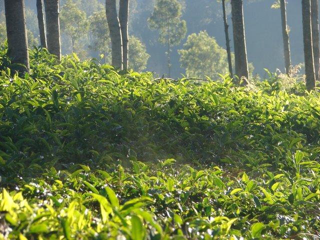 உற்று நோக்கினால் தேயிலை கொழுந்துகளுக்கு மேலே எழும் பனிப் புகையைக் காணலாம் - இடுஹட்டி சாலை