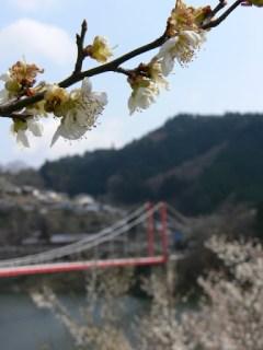 梅の花と八幡橋