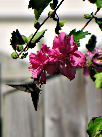 Hummingbird and Rose of Sharon