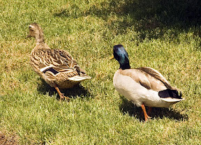 Ducks on my lawn.