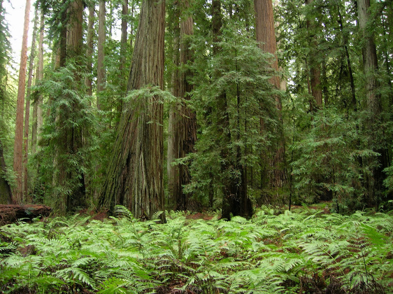 Extremely lush redwood forest