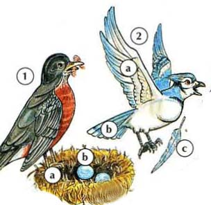 1. robin a. dendere b. egg 2. blue jay a. mapiko b. muswe c. feather