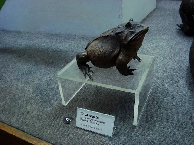 Muzeum Przyrodnicze we Wrocławiu - Żaba rogata
