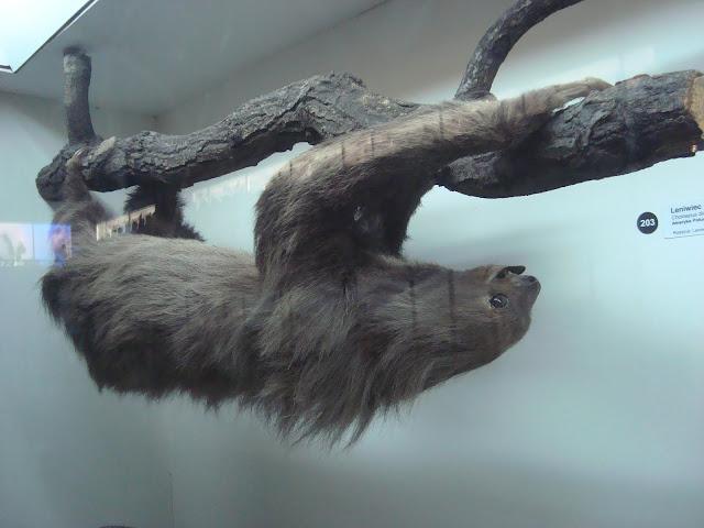Muzeum Przyrodnicze we Wrocławiu - Leniwiec