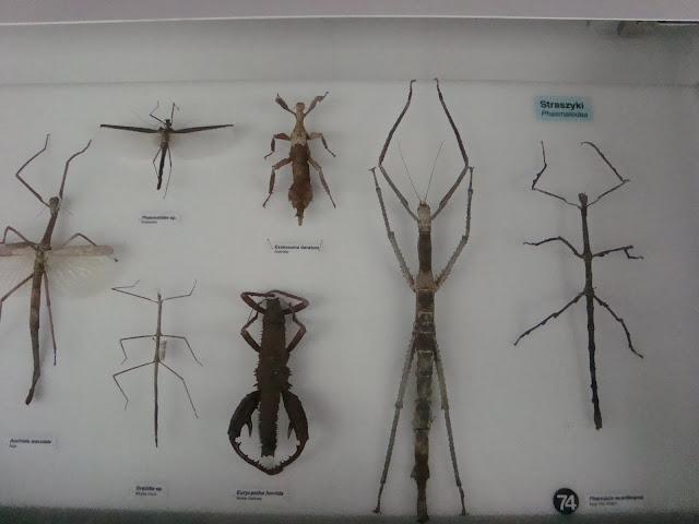 Muzeum Przyrodnicze we Wrocławiu - Straszyki