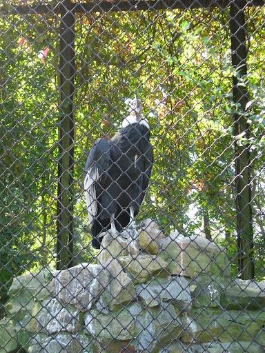 Kondor w opolskim zoo