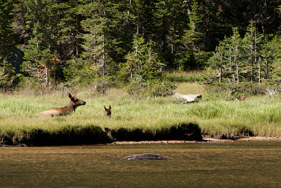 Elk at Jewel Lake