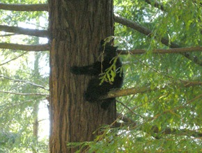 we saw two baby bears running across the road and then this one ran up a tree right by the road