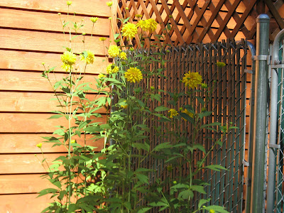 Images of tall yellow flowers siewalls tall yellow flower name mightylinksfo